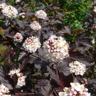 Rote >> Robuste Blütengehölze fürs Siegerland. Blühgehölze. Bunte Hecke. Gartengestaltung Zöller